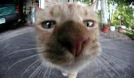 chat, chaton
